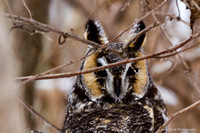 20150129 Long-eared Owl Shiawassee Wildlife Refuge-6791