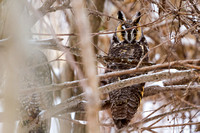 20150129 Long-eared Owl Shiawassee Wildlife Refuge-6787