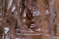20150129 Long-eared Owl Shiawassee Wildlife Refuge-6772